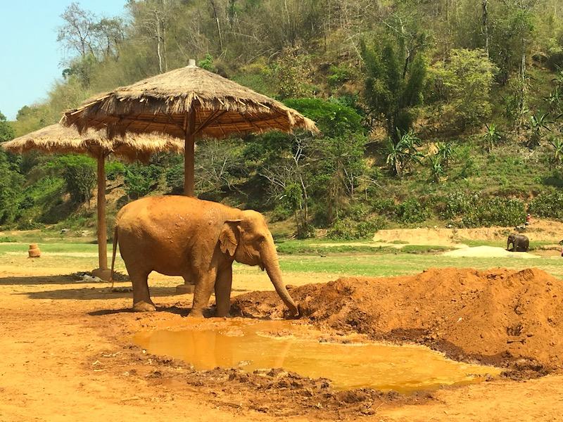 Elefante toma banho de lama