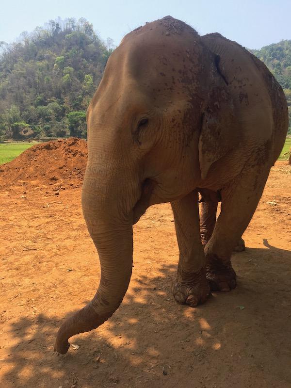 Elefantes resgatados de maus tratos