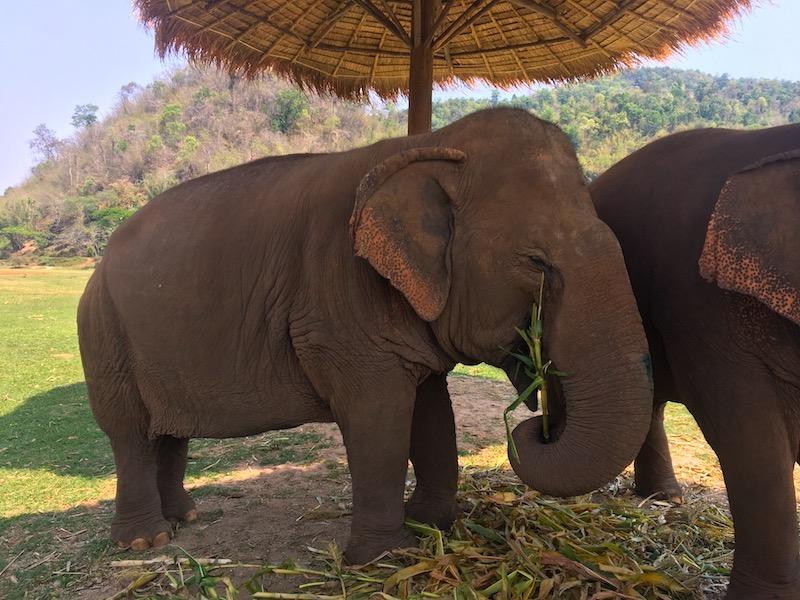 Elefante resgatado no Elephant Nature Park