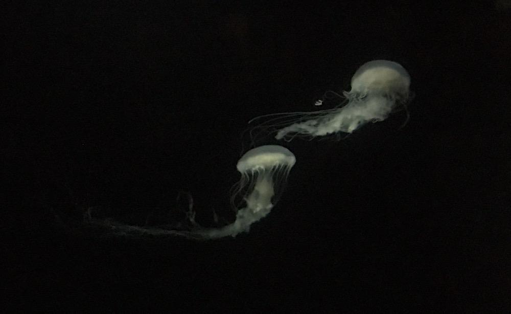 Medusas no Oceanário de Lisboa