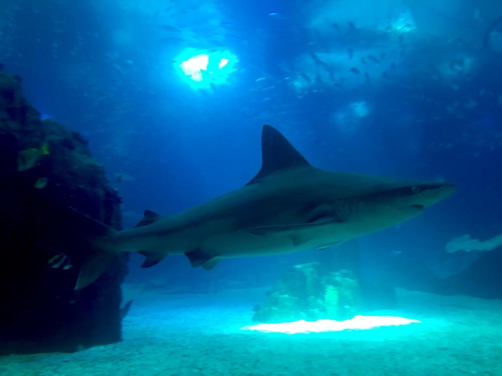 Tubarão dentro do Tanque principal do Oceanário