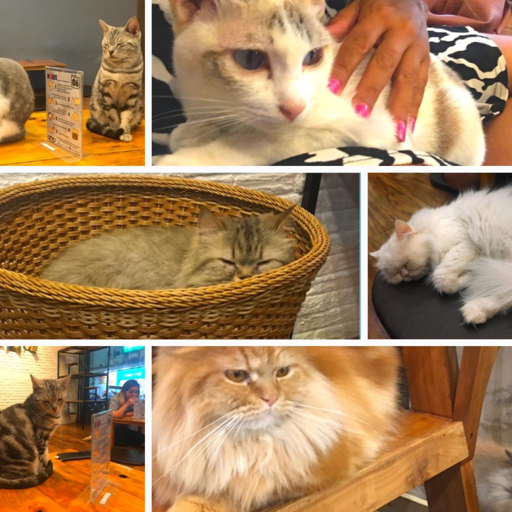 Café com Gatos em Chiang Rai