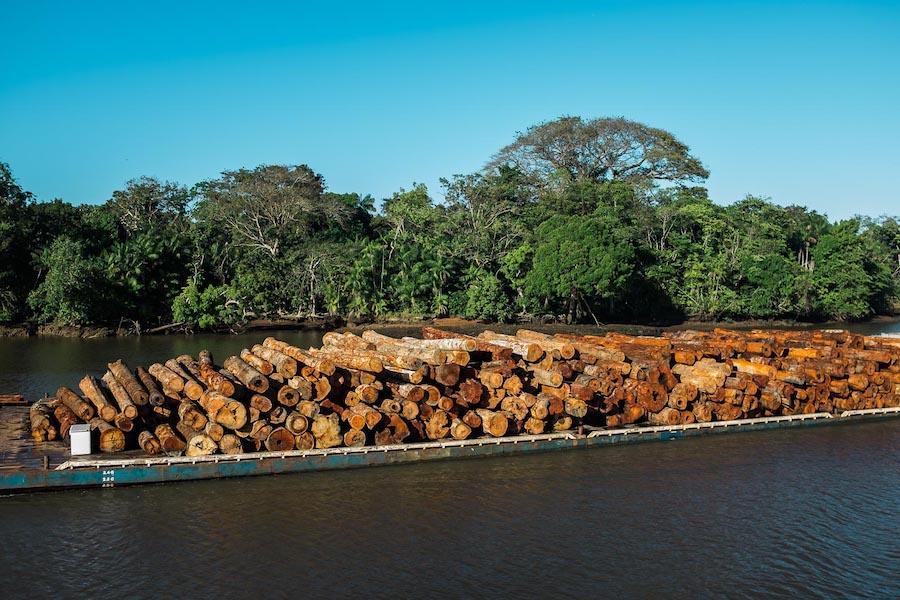 Troncos de árvore do desmatamento da Amazônia