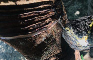 Extração do látex na seringueira